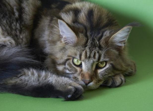 Maine Coon: Conheça o gato gigante e gentil