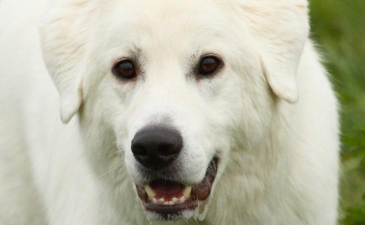 Maremano Abruzês: Conheça um excelente e belo cão pastor