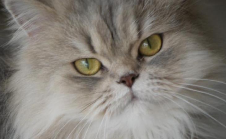 O Gato Persa: Conheça o afetuoso e sedentário príncipe