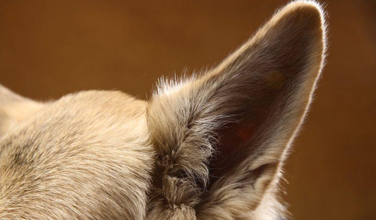Otite em cães: como diagnosticar
