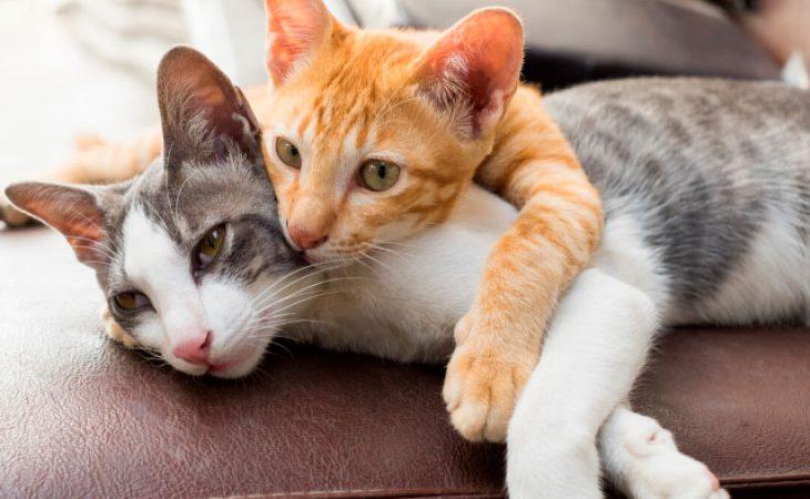 A cardiomiopatia hipertrófica (CMH) felina