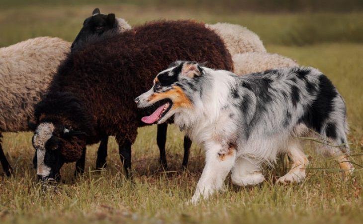 Cães no campo – Para que serve um cão pastor?