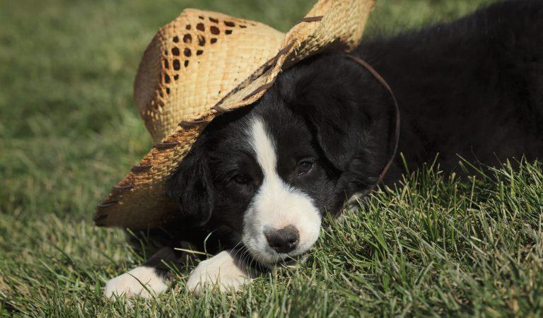 Border Collie: o melhor cão para pastoreio