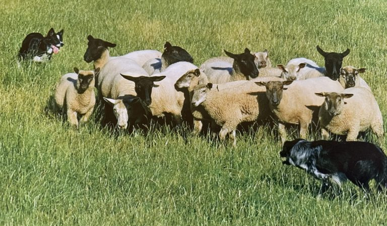 Saiba o que é e como funciona um campeonato de pastoreio