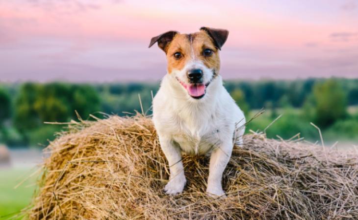Como manter saudável o cão que vive no campo