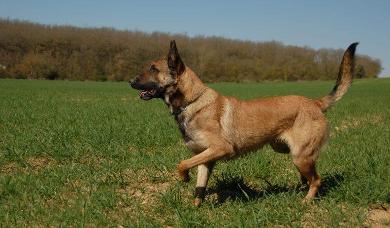 Tudo sobre um cão pastor resistente e da Bélgica