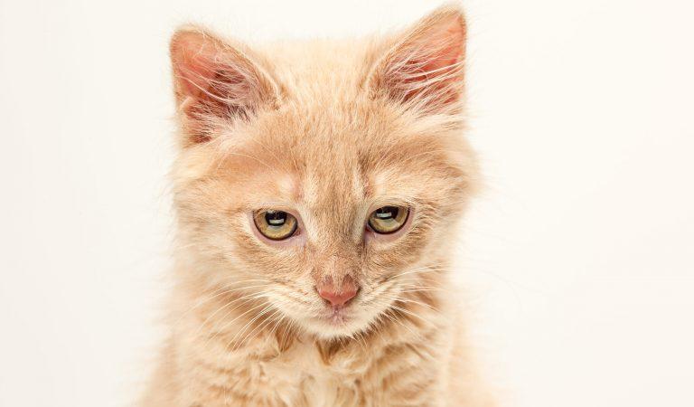 FELV – A leucemia felina
