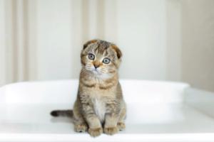 Raças de gatos para pessoas com alergia!